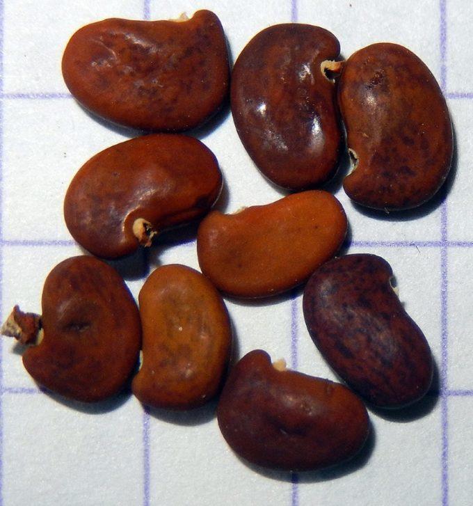 Семена робинии ложноакациевой