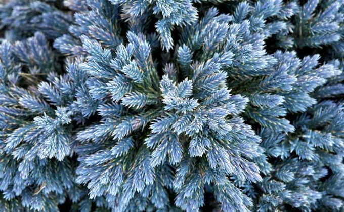 Можжевельник чешуйчатый Блю Стар (Blue Star)