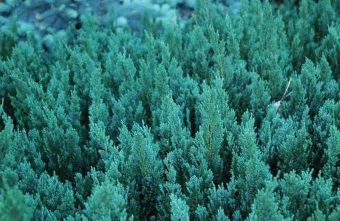 Можжевельник горизонтальный Блю Форест (Blue Forest)