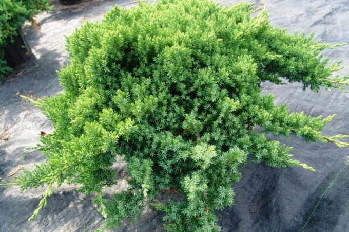 Можжевельник обыкновенный Нана (Nana aurea)
