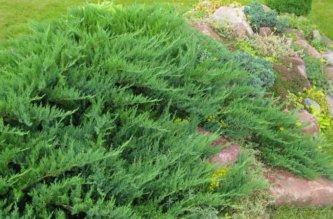 Можжевельник казацкий Тамарисцифолия (Tamariscifolia)