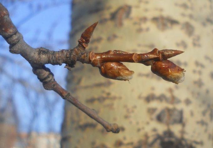 Веточка осины с лопнувшими почками