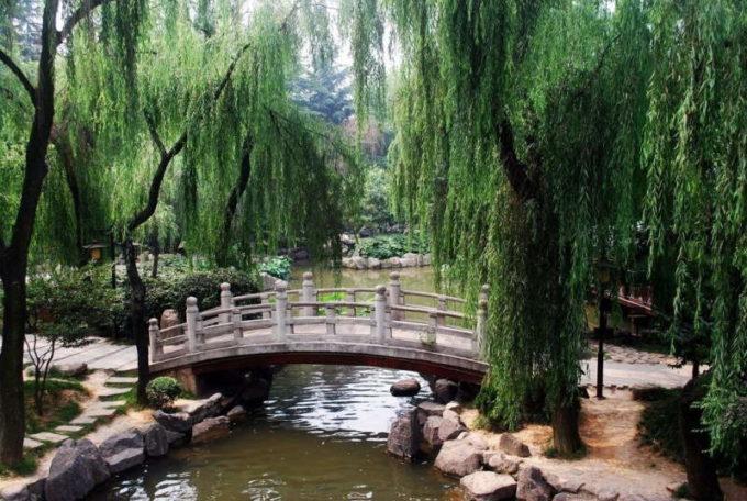 Плакучая ива в парке