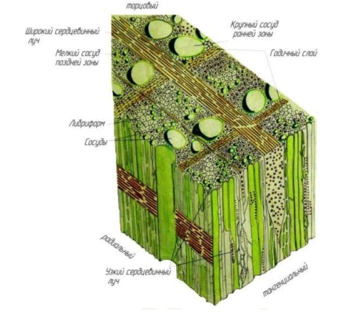 микроскопическое строение древесины лиственных пород