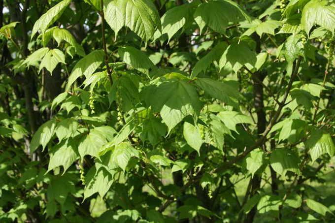 Пенсильванский клен (Acer pensylvanicum)