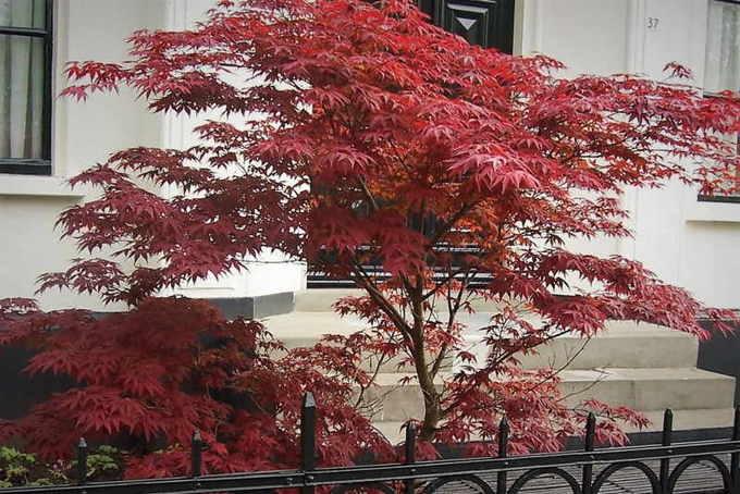 Клен Дланевидный Атропурпуреум (Acer palmatum Atropurpureum)