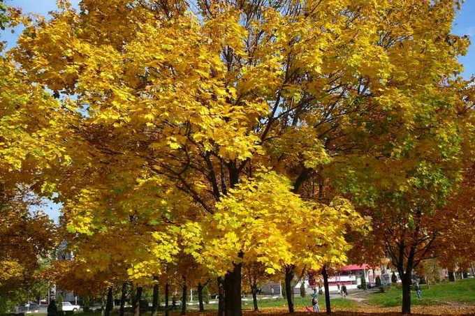 Желтый клен