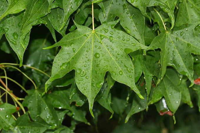 Мелколистный клен (Acer mono)