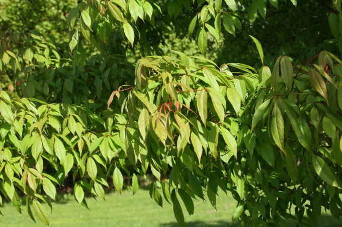 Маньчжурский клен (Acer mandschuricum)