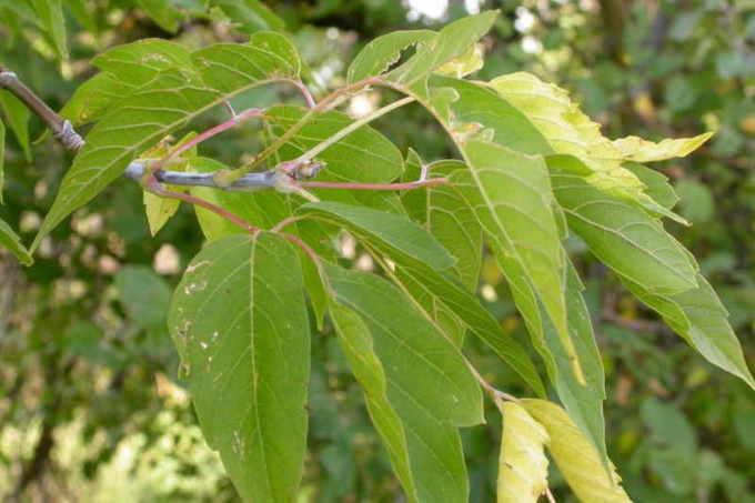 Ясенелистный клен (Acer negundo)