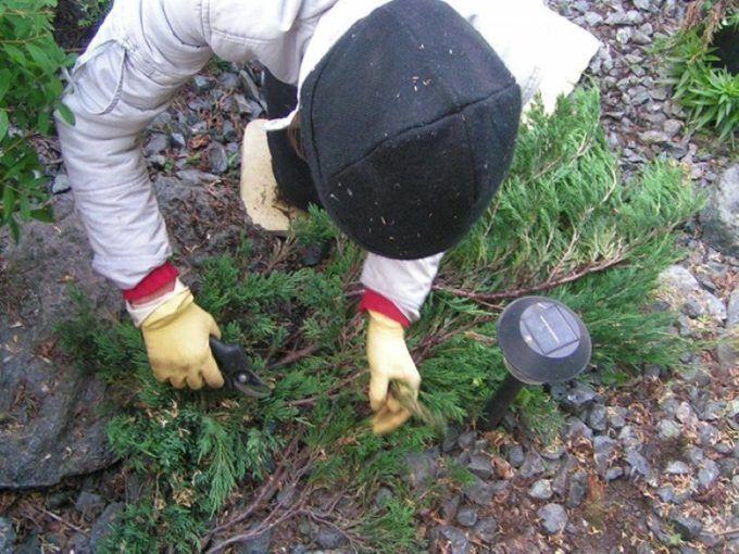 Санитарная обрезка стелющихся можжевельников