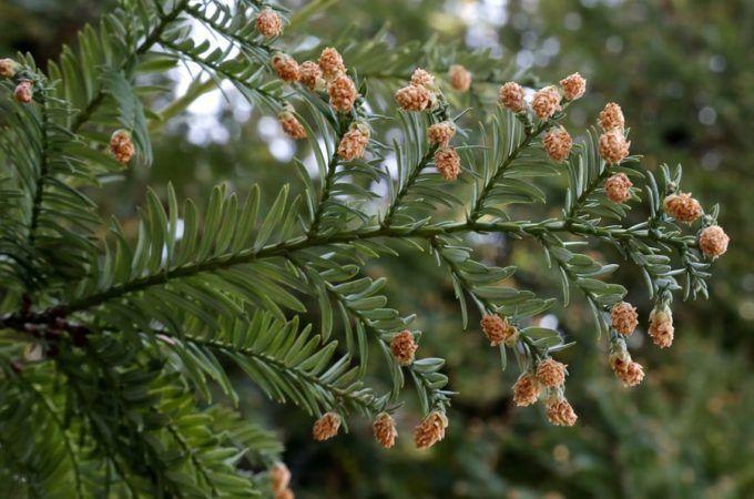 Ветка вечнозеленой секвойи