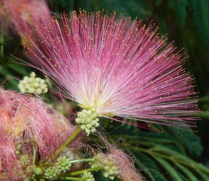 Цветы альбиции ленкоранской