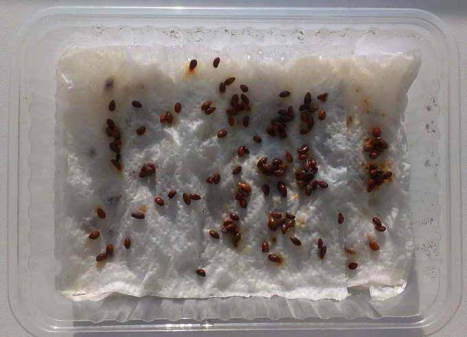 Стратификация семян кедра