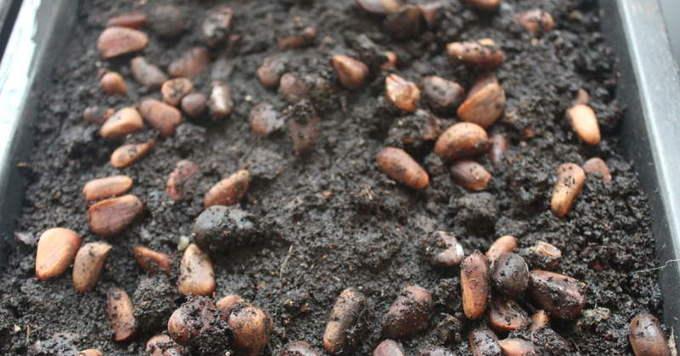 Семена кедра в почве
