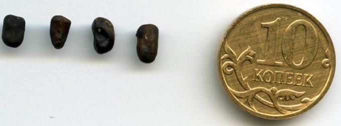 Семена караганы