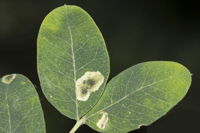Пораженный лист желтой акации