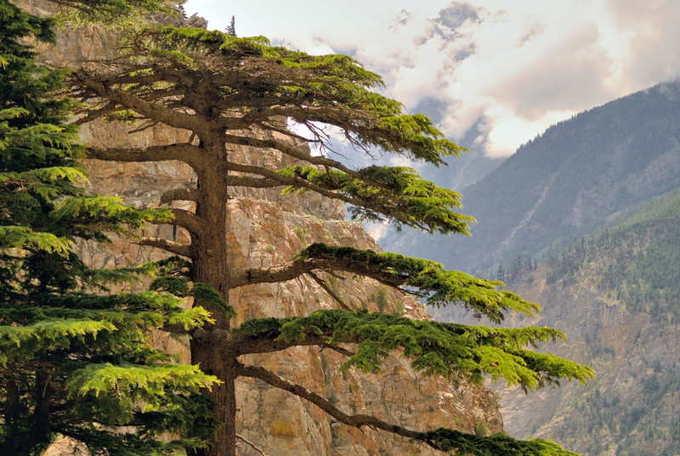 Гималайский кедр
