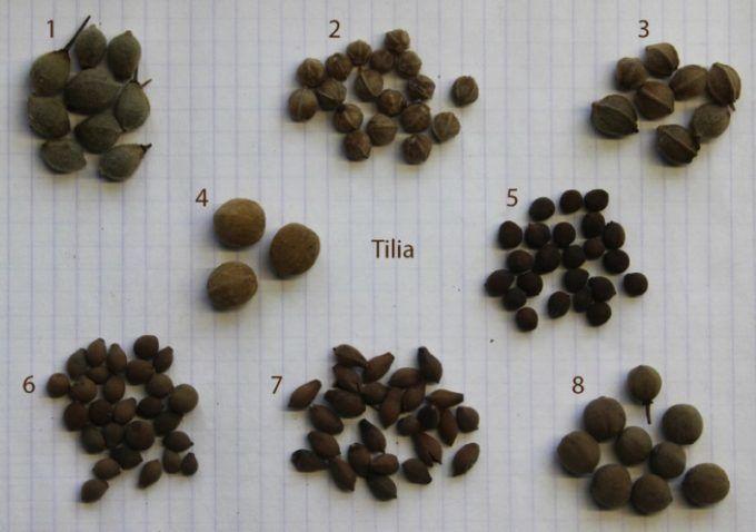 Семена различных видов липы