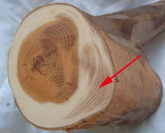 Крень древесины