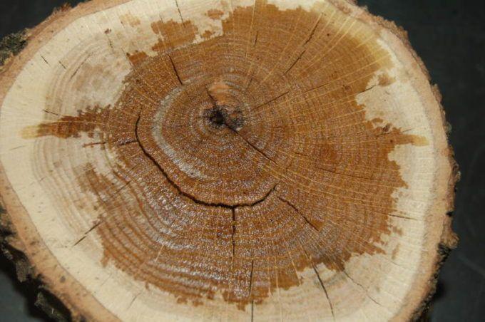 Окраска заболони древесины