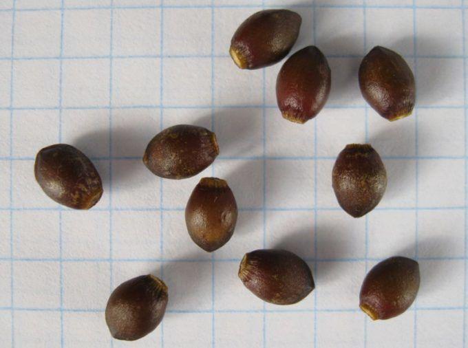 Семена ягодного тиса