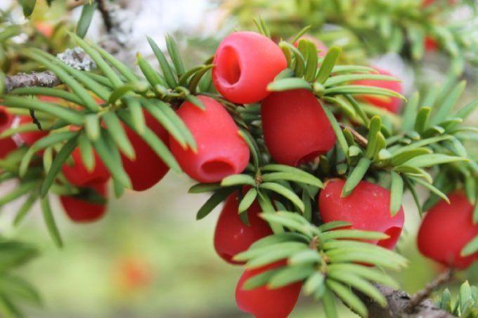 Ветка ягодного тиса