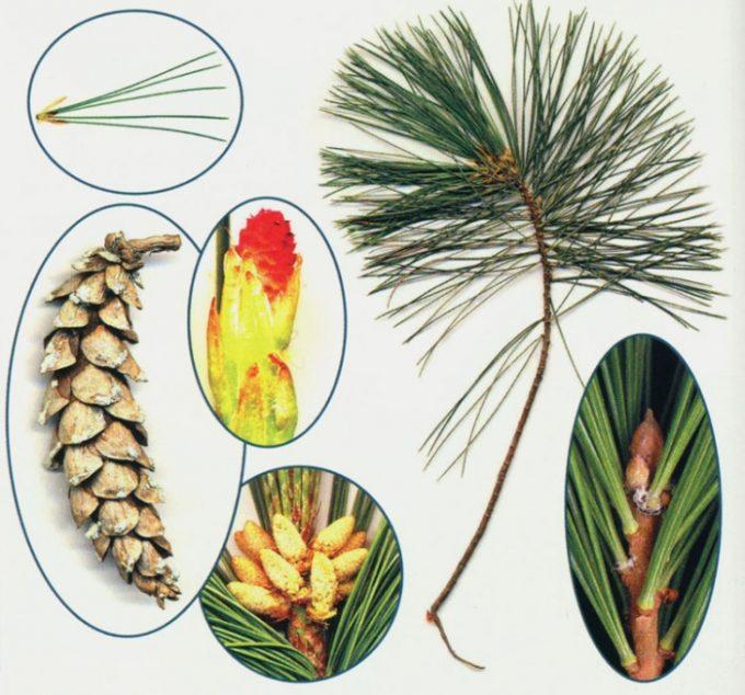 Семена сосны Веймутовой