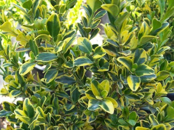 Buxus microphylla Golden-Triumph