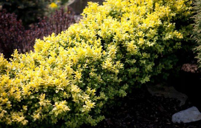 Buxus sempervirens Aurea