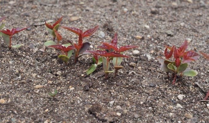 Ювенильное растение