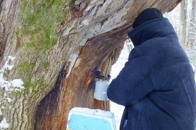 Дендролог лечит дуб