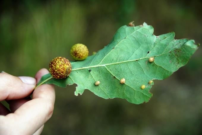 Галлы на листе дуба