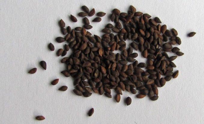 Семена ели глауки