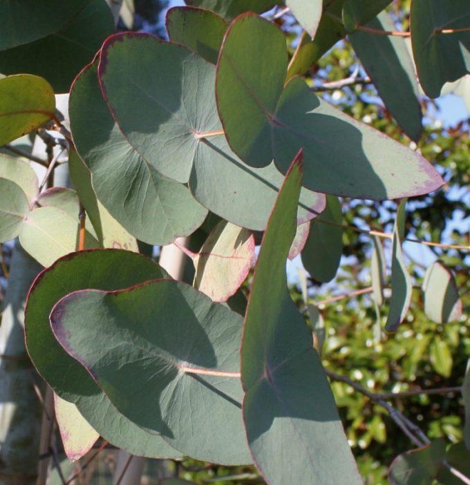 Строение листа эвкалипта