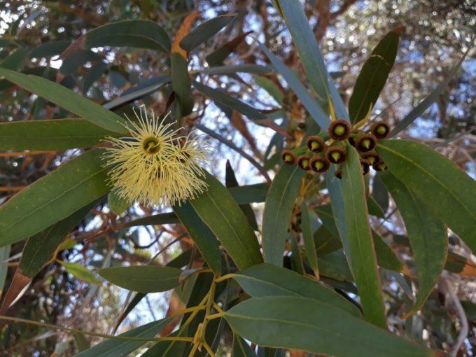 Цветы и плоды эвкалипта