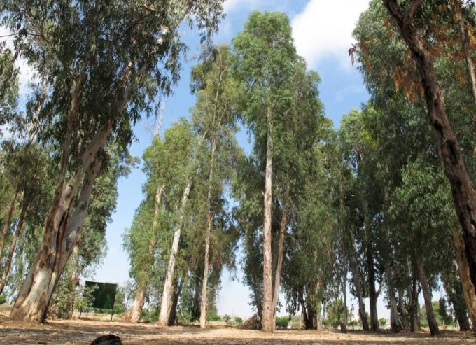 Эвкалиптовое дерево