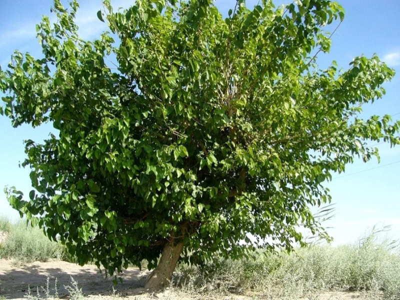 Дерево шелковица