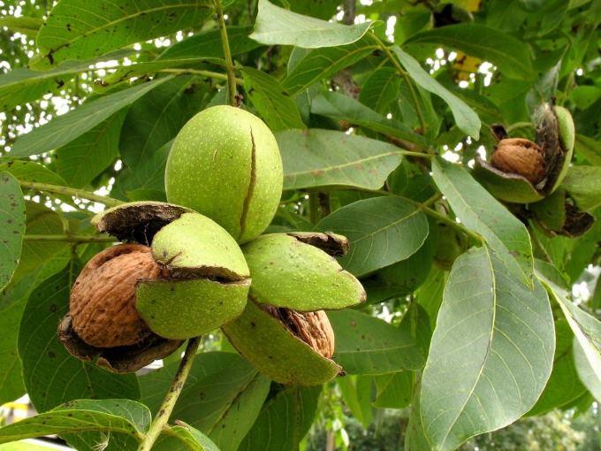 Зрелые плоды в раскрывшихся околоплодниках