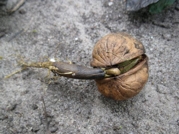 Проросший плод грецкого ореха