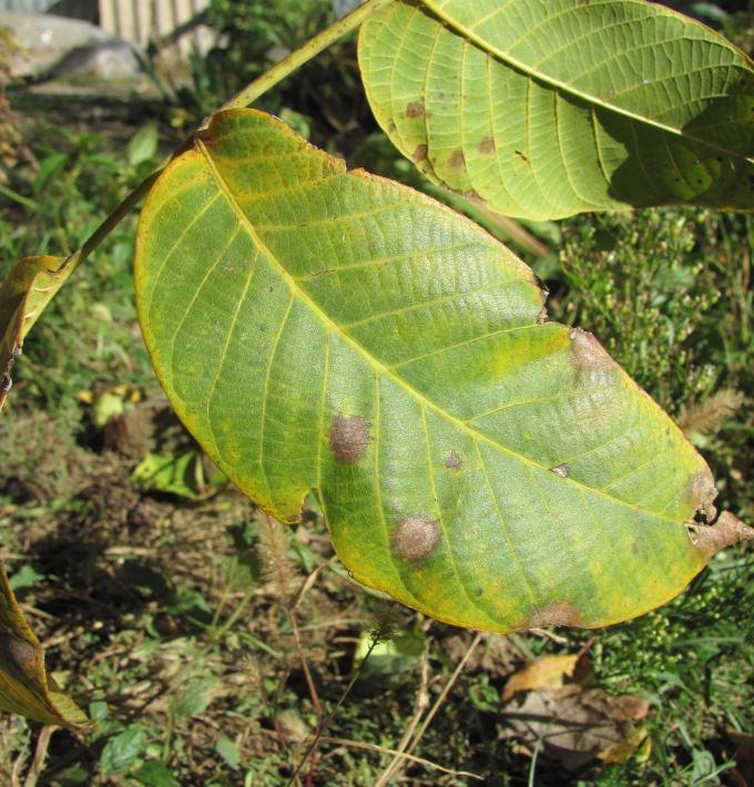 Лист пораженный грибком