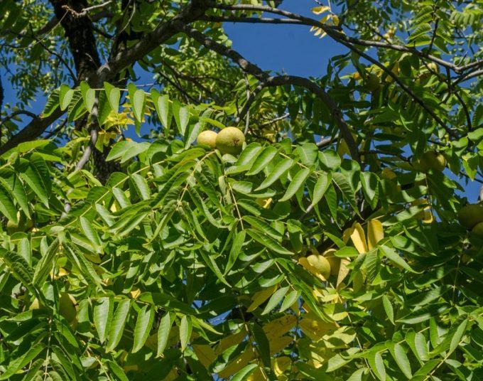 Листья и плоды черного ореха