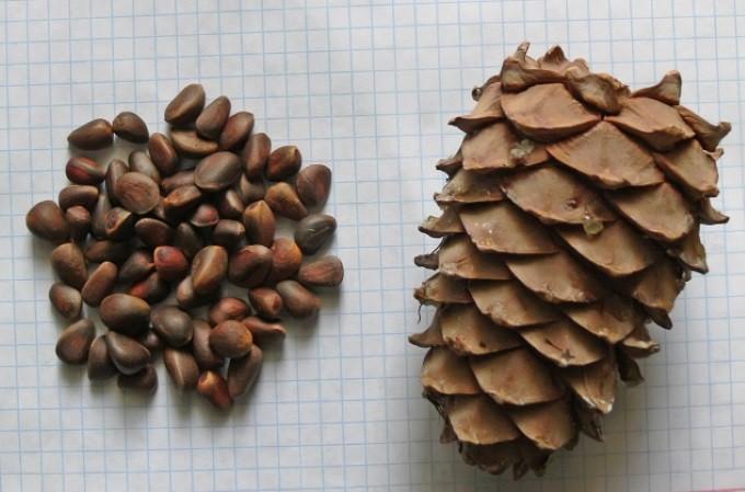 Вызревшая шишка и орехи