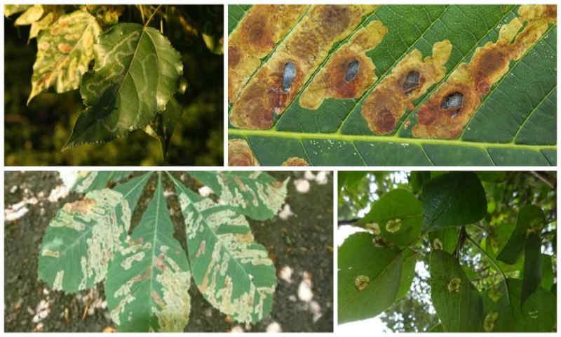 Тополиная тля на листьях