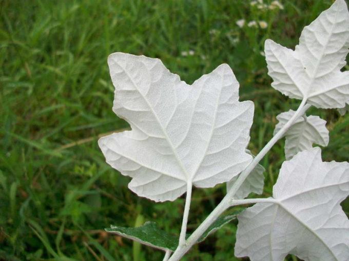 Листья тополя Белого