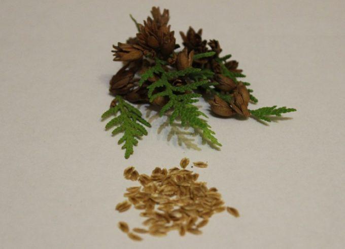 Семена туи брабант
