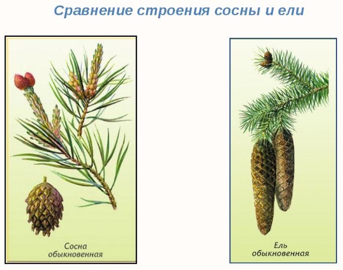 Сравнение строения ели и сосны