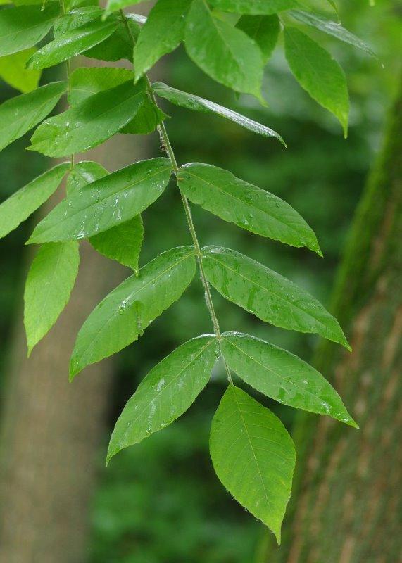 Листья ореха серого