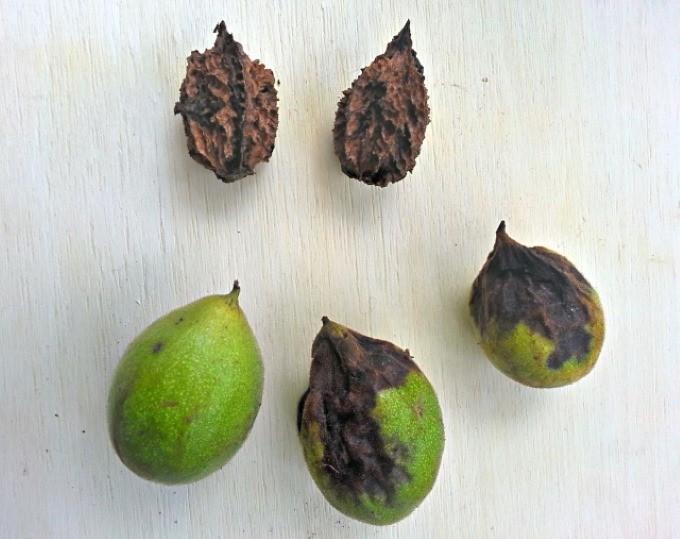 Плоды ореха серого