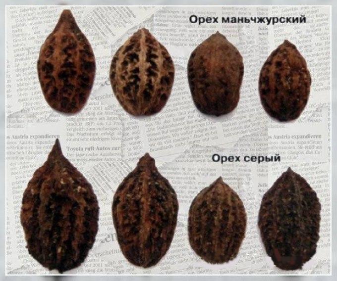 Сравнение плодов серого и маньчжурского орехов